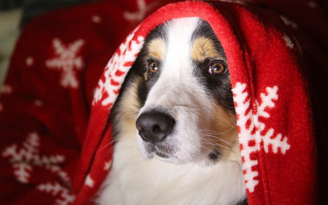 Christmas dog under blanket