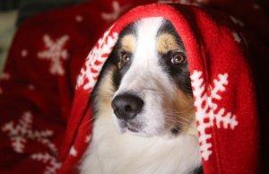 Christmas dog under blanket